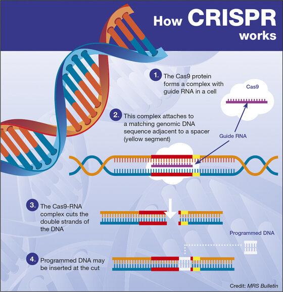 Chart that illustrates how CRISPR technology works