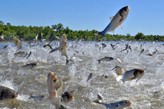 Image of Asian carp disturbed in a river, evidence of the need to reverse the control of nature