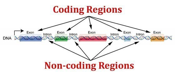 """Diagram of the human genome portraying the difference between """"coding"""" DNA and """"junk"""" DNA"""
